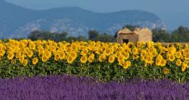Polja sivke cvetijo v juliju, Tur Tur Turizem